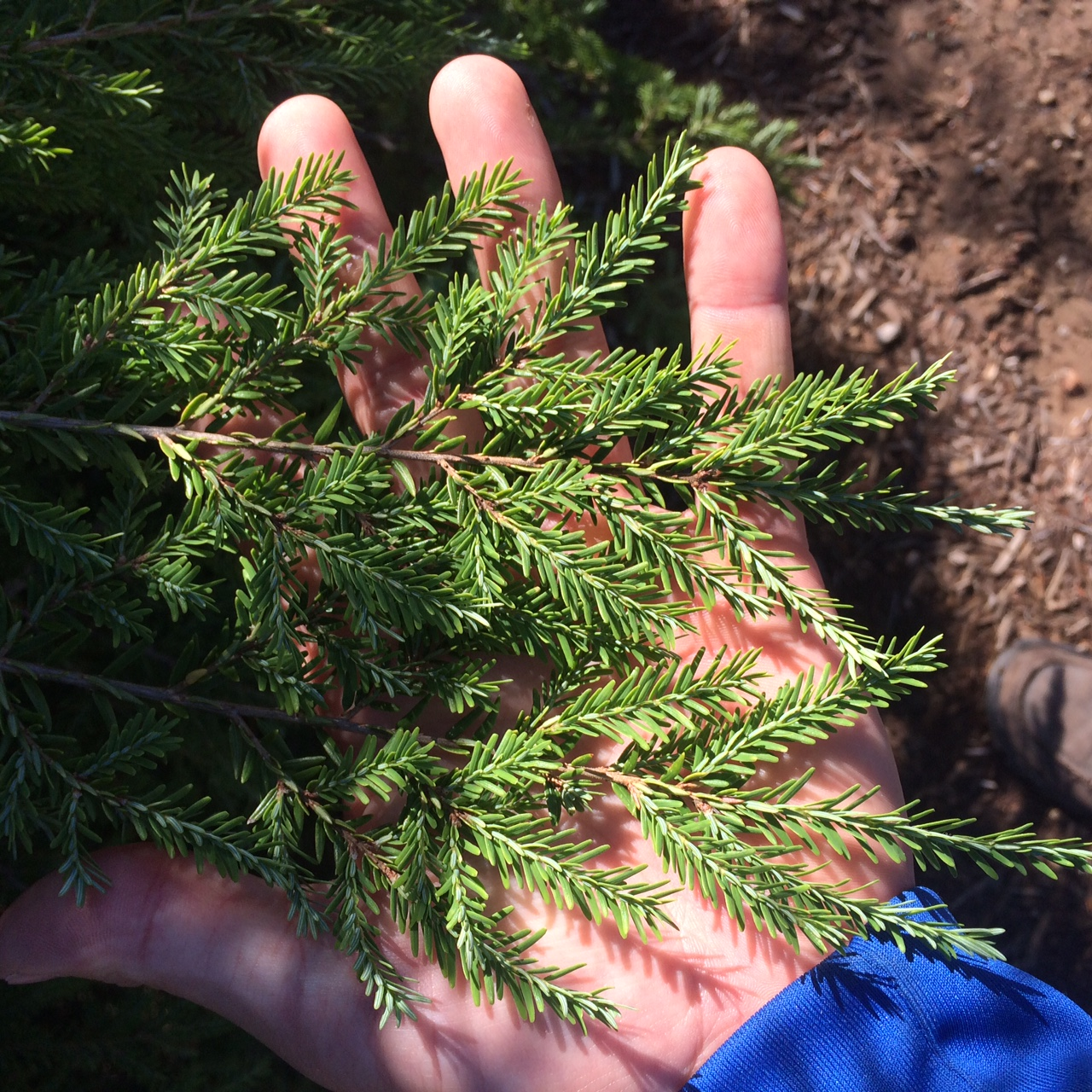 Hemlock-Branch