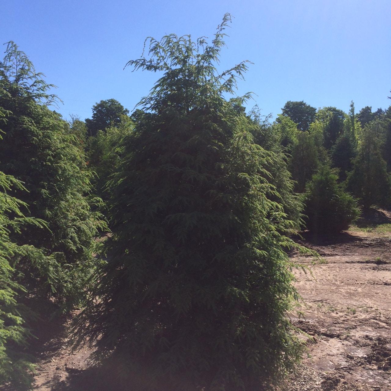 Hemlock-Tree