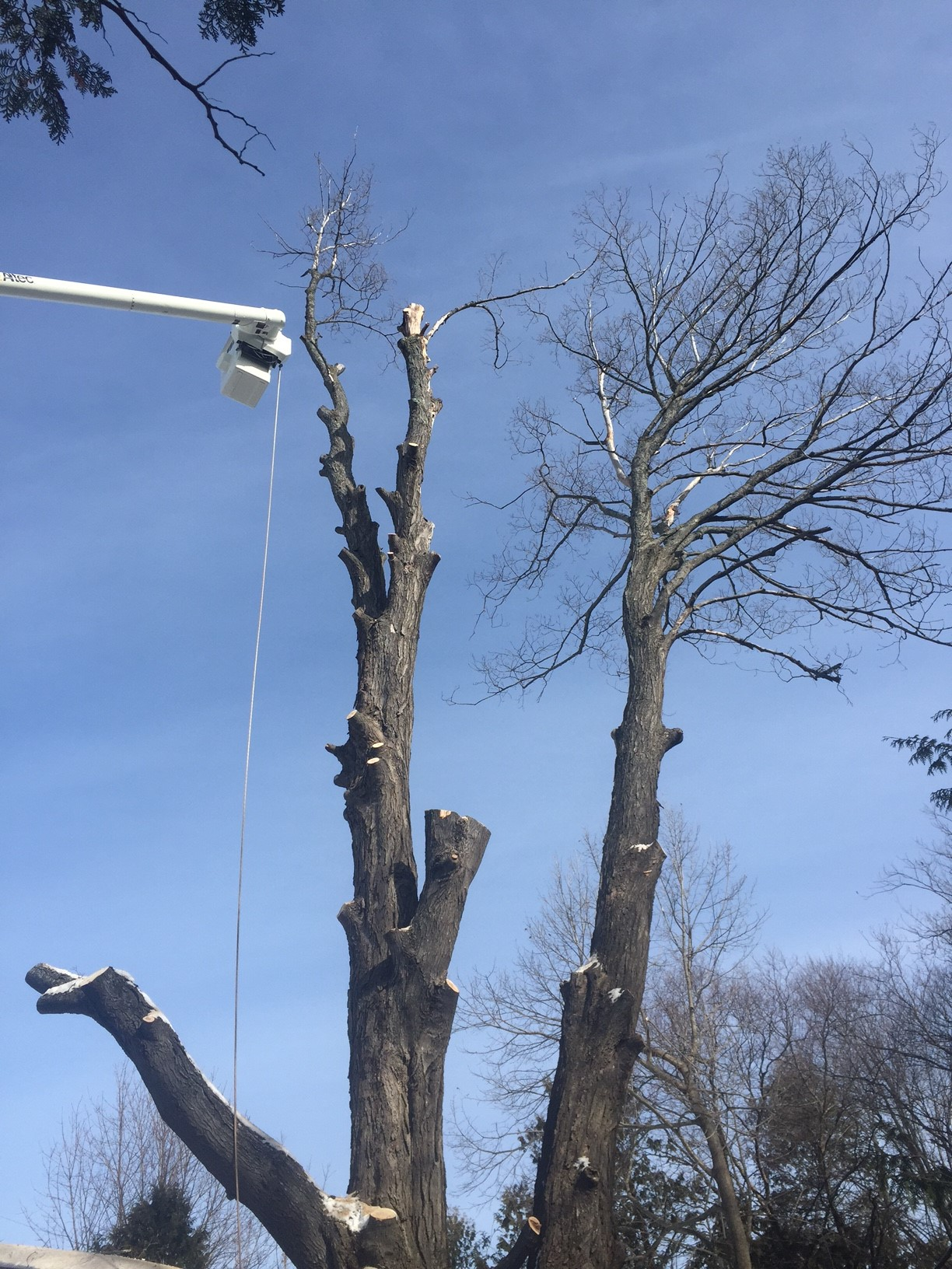 tall bucket truck with tree removal in progress
