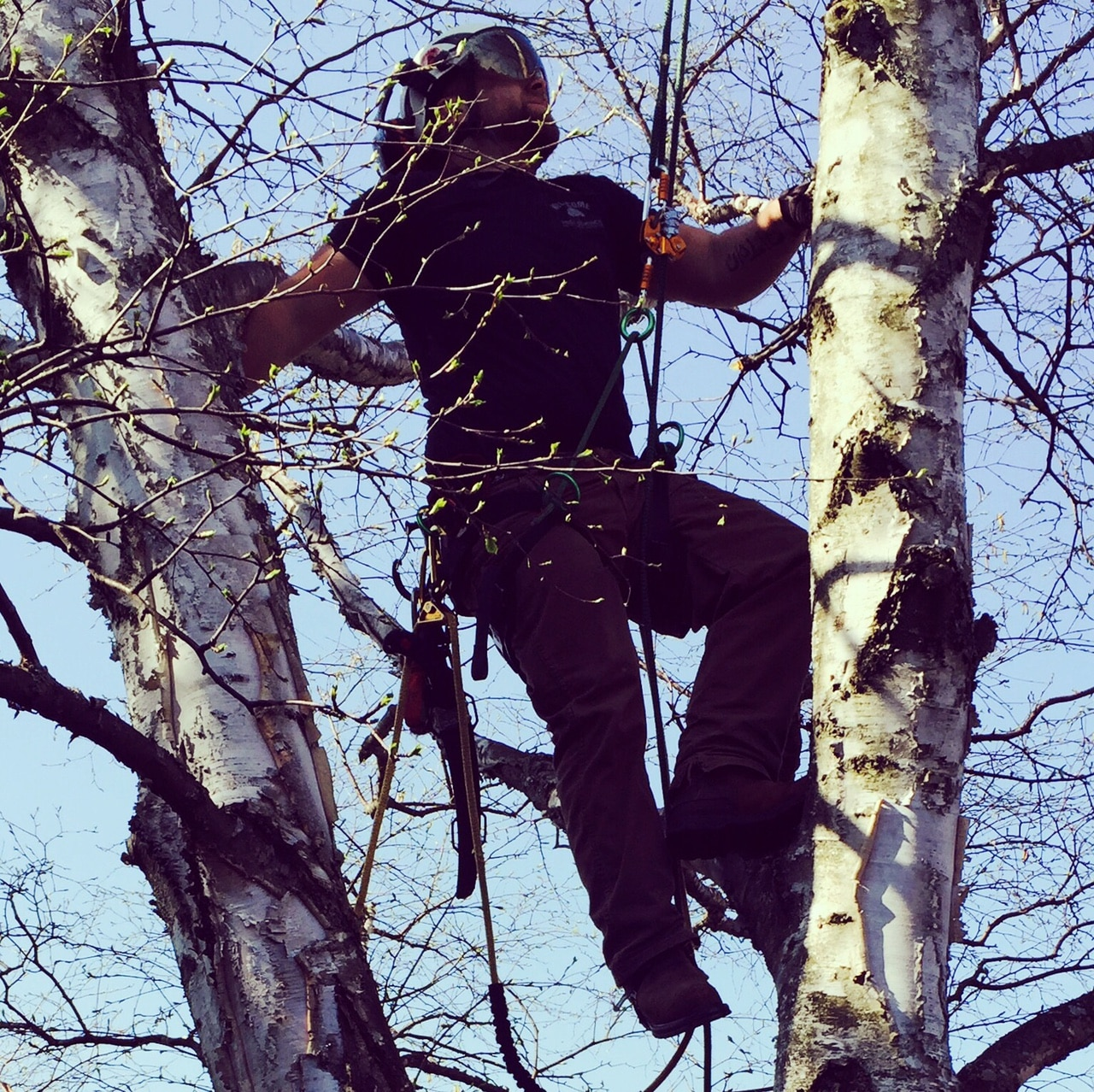 tree service expert high in a birch tree without damaging it