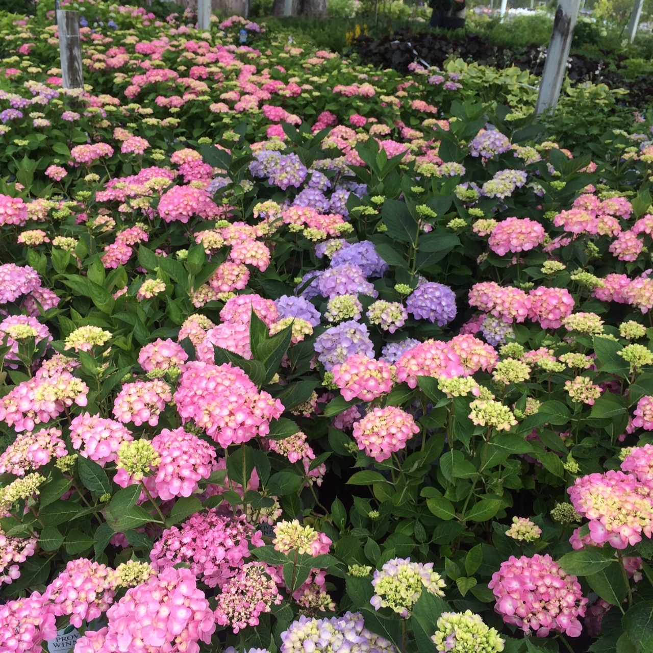 Mass-of-Hydrangeas