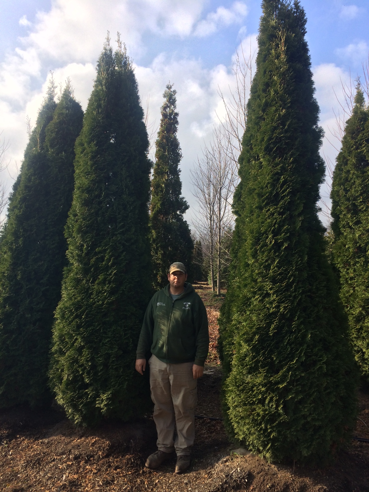 Emerald-Green-Arborvitae