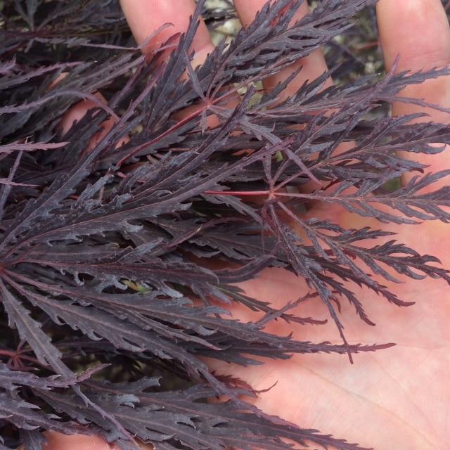 Threadleaf-Japanese-Maple-leaf detail