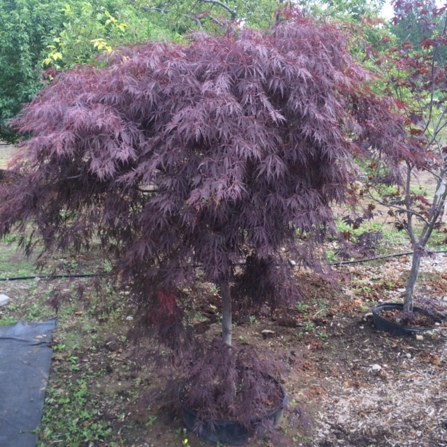 Threadleaf-Japanese-Maple