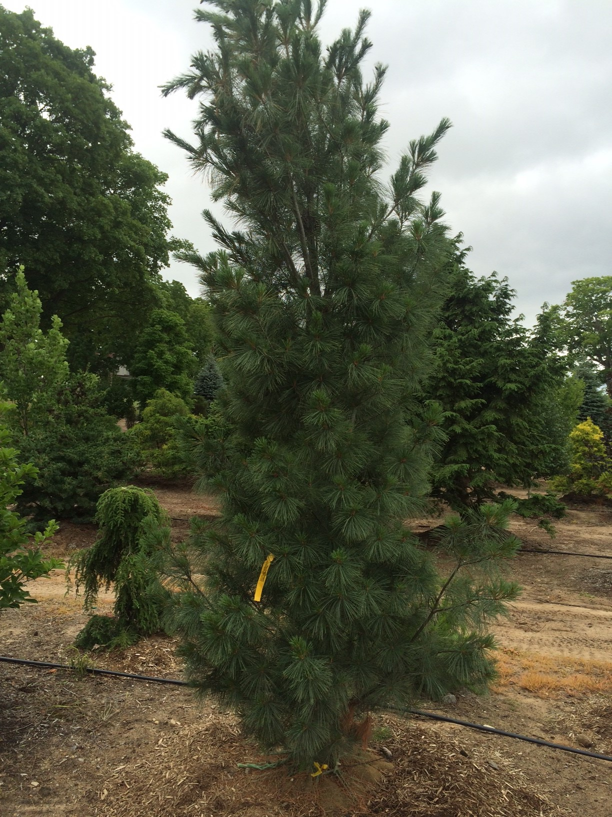 White-Pine-Fastigiata