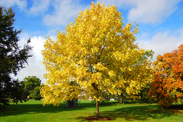 Fraxinus pennsylvanica - green ash tree