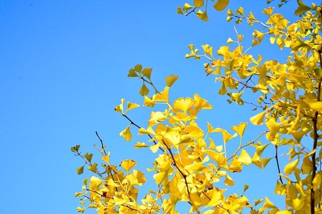 Gingko Tree in fall