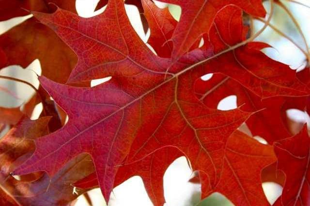 Red oak - quercus rubra | image credit: Missouri Botanical Garden